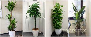 観葉植物人気ランキング