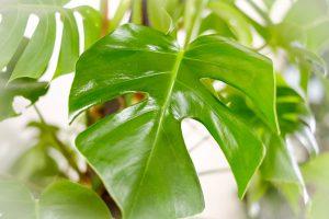 観葉植物レンタルモンステラ