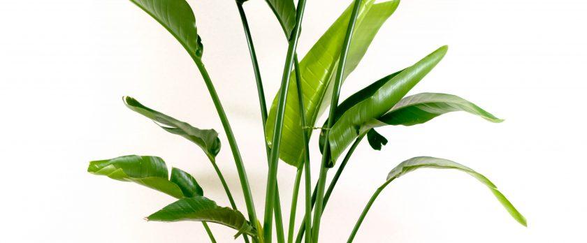 オーガスタ観葉植物レンタル