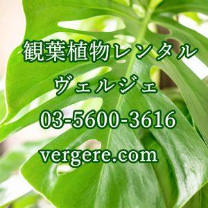 観葉植物レンタルヴェルジェ
